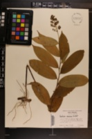 Maianthemum racemosum image