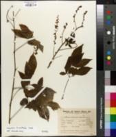 Image of Serjania laruotteana
