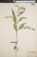 Image of Aster acuminatus