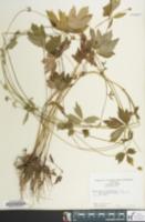 Image of Ranunculus septentrionalis