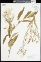 Image of Chamerion angustifolium