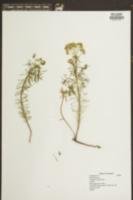 Image of Euphorbia marilandica