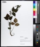Image of Cryptotaenia japonica