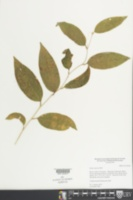 Smilax spinosa image