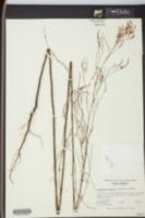 Image of Polygonum pinicola