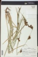 Rhynchospora caduca image