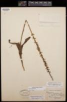 Piperia elongata image