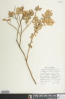 Image of Gaylussacia brachycera