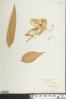 Image of Lilium speciosum