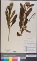 Image of Baccharoides filipendula