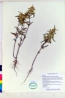 Monarda punctata subsp. occidentalis image