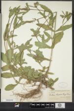 Image of Verbena hispida