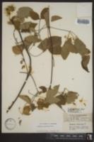 Clematis versicolor image