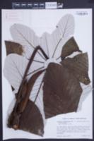 Image of Cecropia schreberiana