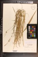 Image of Carex styloflexa