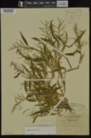 Paspalum repens image