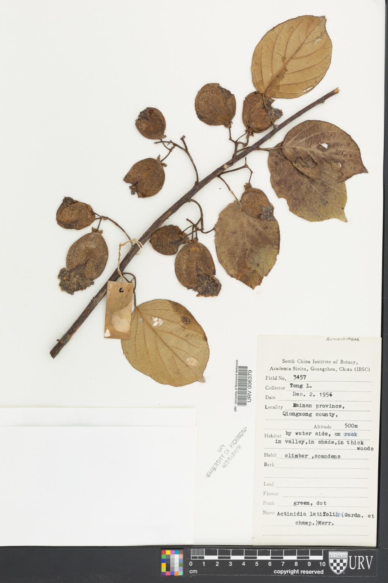 Actinidia latifolia image