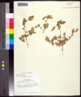 Image of Acalypha poiretii