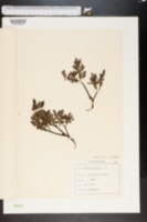 Image of Salix arbuscula