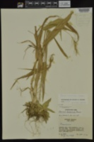 Dichanthelium polyanthes image