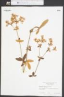 Eriogonum tomentosum image