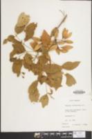 Image of Fraxinus caroliniana