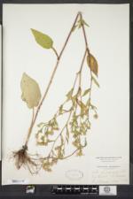 Symphyotrichum ciliatum image