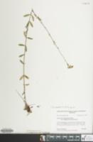 Image of Hypericum acutifolium