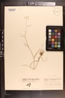 Ptilimnium viviparum image