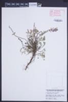 Image of Acinos alpinus
