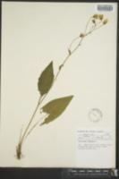 Hieracium vulgatum image