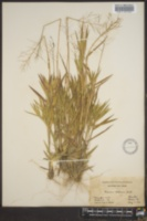 Image of Panicum addisonii