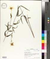 Helianthus hirsutus image