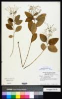 Image of Euphorbia apocynifolia