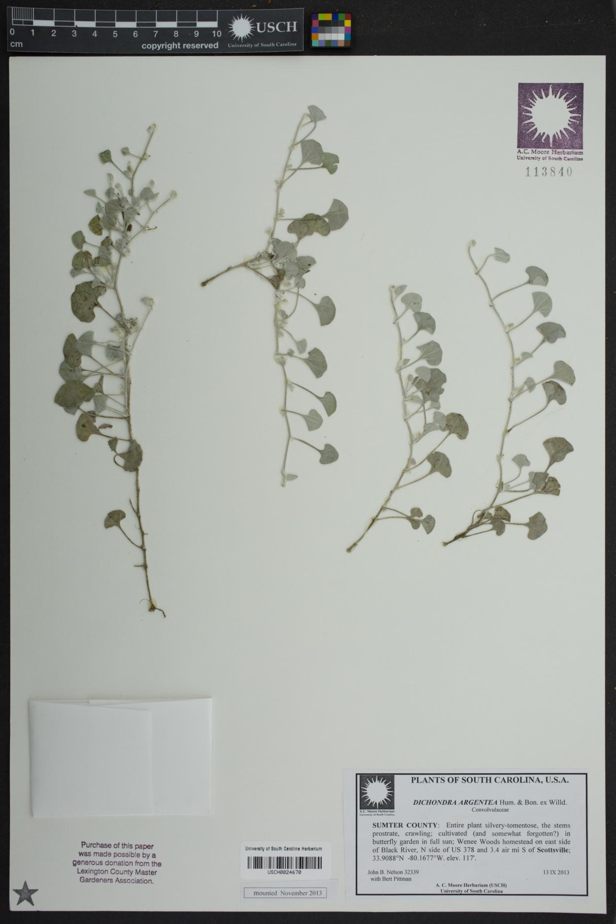 Dichondra argentea image