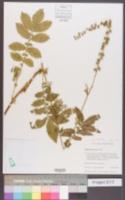 Image of Agrimonia procera