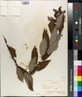 Salix cordata image