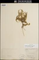 Camissonia breviflora image
