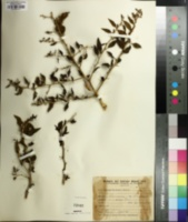 Image of Lycium morongii