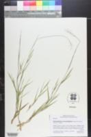 Dichanthelium chrysopsidifolium image