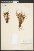 Cyperus granitophilus image