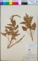 Chenopodium californicum image