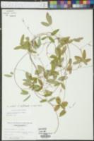 Galactia macreei image