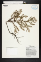 Image of Callitris glaucophylla
