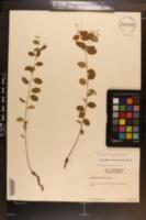Euphorbia polyphylla image