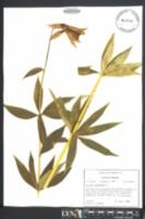 Ipheion uniflorum image