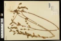 Image of Euphorbia preslii