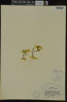 Astragalus nuttallianus var. nuttallianus image