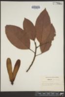 Image of Dipterocarpus gracilis