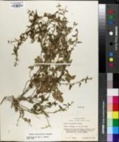 Image of Tragia teucriifolia